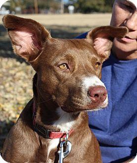 Terrier (Unknown Type, Medium)/Irish Setter Mix Dog for adoption in Owasso, Oklahoma - Leslie