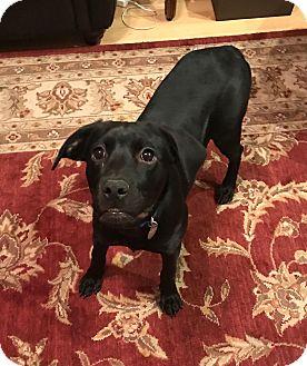 Labrador Retriever Mix Dog for adoption in FOSTER, Rhode Island - Delilah