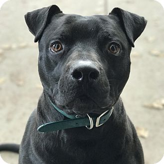 American Staffordshire Terrier/Boston Terrier Mix Dog for adoption in Santa Clarita, California - SARGE