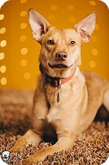 Carolina Dog/Australian Cattle Dog Mix Dog for adoption in Portland, Oregon - Daisy
