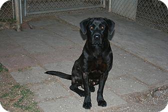 Labrador Retriever Dog for adoption in San Antonio, Texas - Ashton