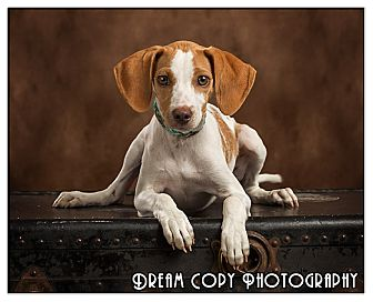 Beagle/Pointer Mix Puppy for adoption in Owensboro, Kentucky - Ginger