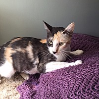 Calico Cat for adoption in Greensburg, Pennsylvania - Baby