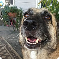 Adopt A Pet :: Cora - Austin, TX