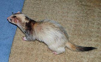 Ferret for adoption in Acworth, Georgia - Lana