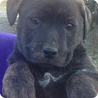 Adopt A Pet :: Chloe - Louisville, KY