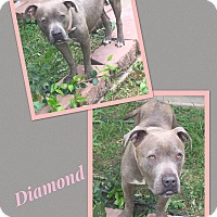 Adopt A Pet :: Diamond - Scottsdale, AZ