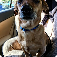 Adopt A Pet :: GUEST DOG-Murphy - Decatur, GA