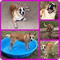 Border Collie/Shepherd (Unknown Type) Mix Dog for adoption in Uxbridge, Massachusetts - Lily