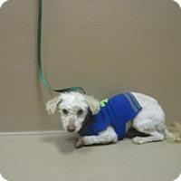 Adopt A Pet :: Sensei - Reno, NV