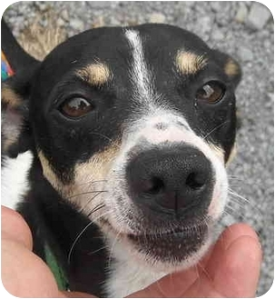Rat Terrier Dog for adoption in Charleston, Arkansas - Ronald-Rat Terrier