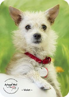 Terrier (Unknown Type, Small) Mix Dog for adoption in Phoenix, Arizona - Violet