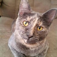 American Shorthair Cat for adoption in Lyons, Illinois - Bella, BF Shadow