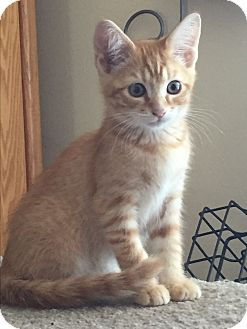 Domestic Mediumhair Kitten for adoption in Kelso/Longview, Washington - Jimmy