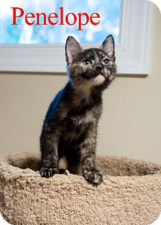 Domestic Shorthair Kitten for adoption in Baltimore, Maryland - Penelope