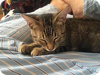 Domestic Shorthair Kitten for adoption in San Pedro, California - Onix (Snuggle fluff!)