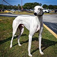 Adopt A Pet :: Dujo's Caspar - Sarasota, FL
