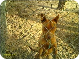 American Pit Bull Terrier Dog for adoption in Emory, Texas - Zee