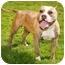 Photo 4 - Staffordshire Bull Terrier/English Bulldog Mix Dog for adoption in Marina del Rey, California - Zola