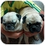 Photo 2 - Pug Dog for adoption in Windermere, Florida - Rudy