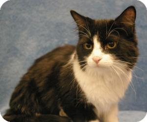 Domestic Mediumhair Cat for adoption in Sacramento, California - Prince