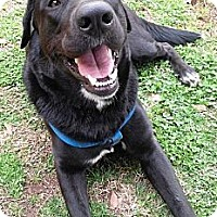 Adopt A Pet :: Boots - Franklin, TN