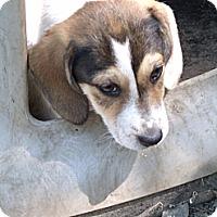 Adopt A Pet :: Abigail - Leesburg, VA