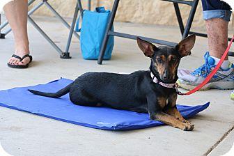 Dachshund/Terrier (Unknown Type, Medium) Mix Dog for adoption in Seguin, Texas - Foxy