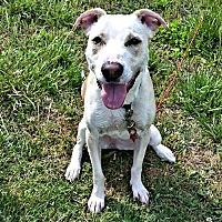 Shepherd (Unknown Type)/Pit Bull Terrier Mix Dog for adoption in Williston Park, New York - Zelda