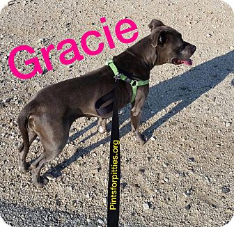 Pit Bull Terrier Mix Dog for adoption in Brighton, Colorado - Gracie