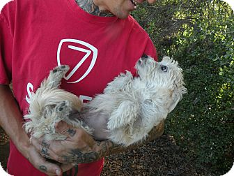 Poodle (Miniature)/Terrier (Unknown Type, Small) Mix Puppy for adoption in El Cajon, California - Paloma