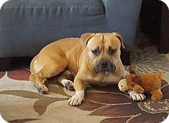 Bulldog/Boxer Mix Dog for adoption in Seattle, Washington - savoy