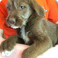 Wirehaired Pointing Griffon/Terrier (Unknown Type, Medium) Mix Puppy for adoption in Kittery, Maine - Ladybird