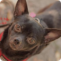 Chihuahua Dog for adoption in Freeport, Florida - Bismark
