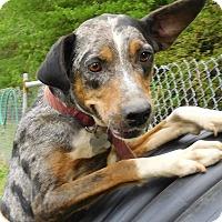 Catahoula Leopard Dog/Hound (Unknown Type) Mix Dog for adoption in St. Francisville, Louisiana - Tootsie