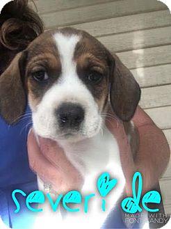 Beagle Mix Puppy for adoption in Garden City, Michigan - Severide