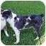 Photo 3 - Australian Shepherd Dog for adoption in Orlando, Florida - Shia