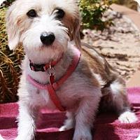 Adopt A Pet :: Tayrn - Gilbert, AZ