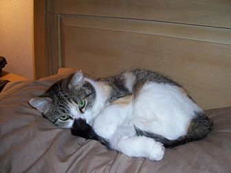 Calico Cat for adoption in Houston, Texas - Julia