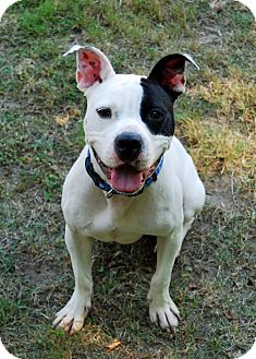 American Pit Bull Terrier Mix Puppy for adoption in Farmington, Maine - Pinocchio