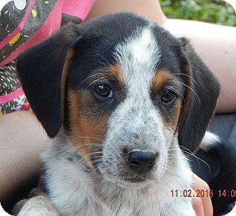 Beagle/English Shepherd Mix Puppy for adoption in Burlington, Vermont - Zorro (7 lb) New Pics & Video