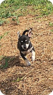 Chihuahua Mix Puppy for adoption in Saddle Brook, New Jersey - Jack