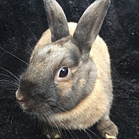 Adopt A Pet :: Zuzu - Watauga, TX