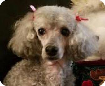 Poodle (Miniature) Dog for adoption in Burlington, Washington - Faith