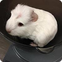 Adopt A Pet :: Iggy Pop (Bonded w/ Pop) - Redmond, WA