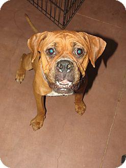 Boxer Dog for adoption in Scottsdale, Arizona - Patsy