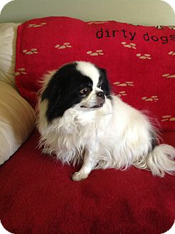 Japanese Chin Dog for adoption in Aurora, Colorado - Tinkerbell