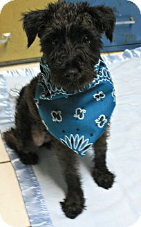 Poodle (Miniature)/Schnauzer (Miniature) Mix Dog for adoption in Forked River, New Jersey - Mimi