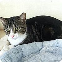 Adopt A Pet :: Silky - Riverhead, NY