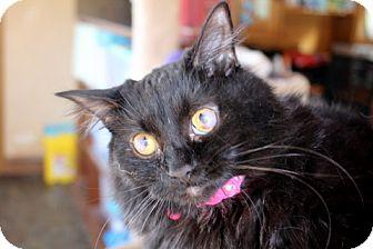 Domestic Mediumhair Cat for adoption in Danville, Kentucky - HELEN